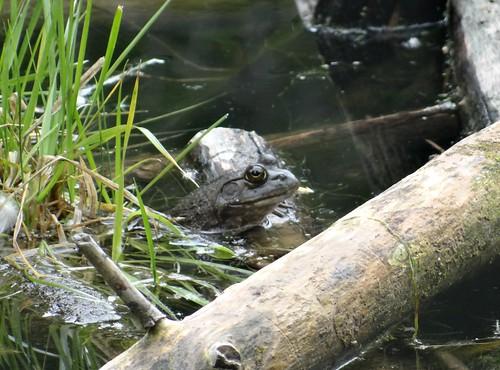 Wednesday's frog