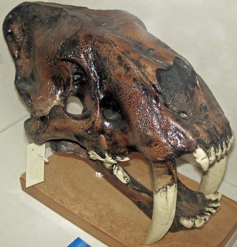 Smilodon sp. (saber-toothed tiger) (La Brea Asphalt, Pleistocene; La Brea tar pits, Los Angeles, California, USA) 2