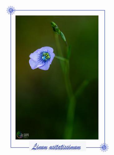 """"""" Le langage des fleurs ne se limite pas aux messages amoureux : de nombreuses fleurs signifient aussi des états d'âme. Le Lin, évoque : la simplicité, la gratitude. """""""