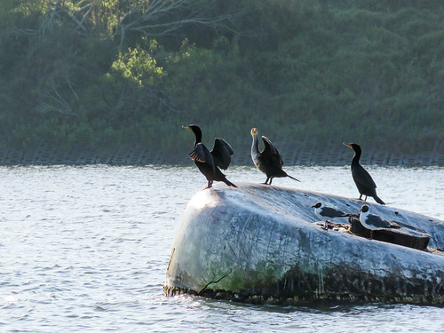 Day 3, Cormorants and Gulls