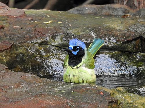 Day 6, Green Jay having a bath