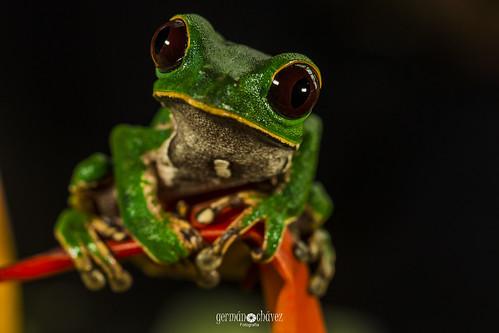 IMG_7246 Phyllomedusa camba (Amazon monkey frog)