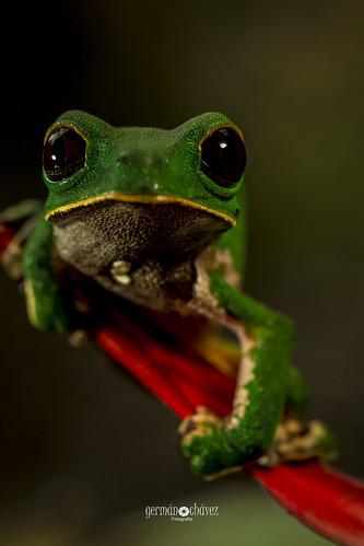 IMG_7182 Phyllomedusa camba (Amazon Monkey Frog)