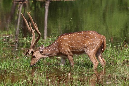 36. Male Chital [Axis Axis], Tala Zone, Bandavgarh, Madhya Pradesh, India (www.junglemantrasafaris.com)