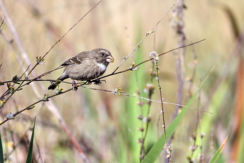 #742: Protea canary