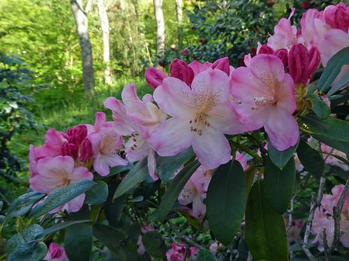 Rhododendreon 'Percy Wiseman' ERICACEAE).