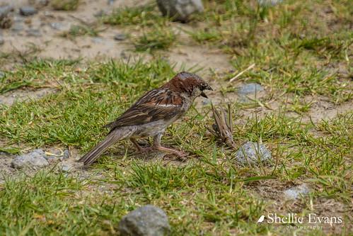Sparrow & Grasshopper Tussle