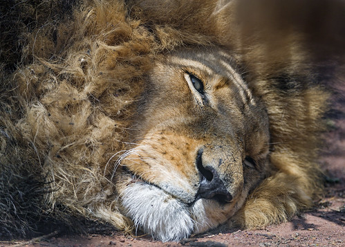 Quite tired lion