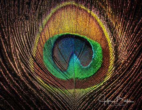 Peacock-941574
