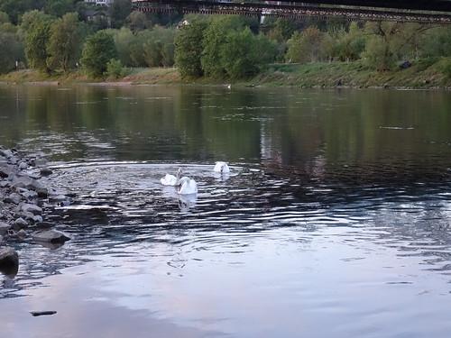 Pequeños cisnes en el muelle de vapor.