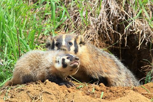 American badger mother & kit near Lake Meyer Park IA 653A8151