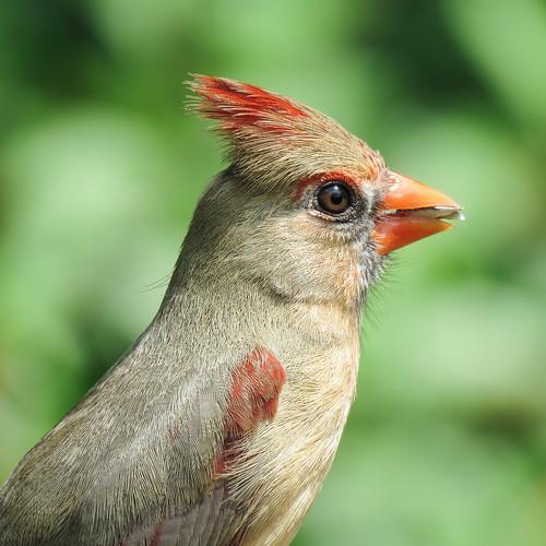 Day 6, female Northern Cardinal / Cardinalis cardinalis, South Texas