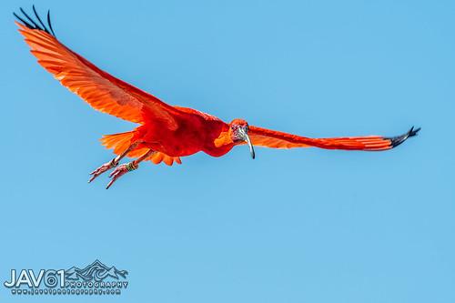 Scarlet ibis (Eudocimus ruber)-0240