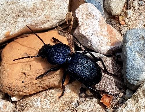 606  Scarab Beetle