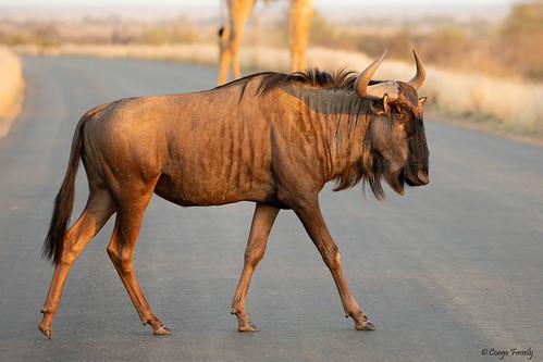 Wildebeest - Gnou bleu