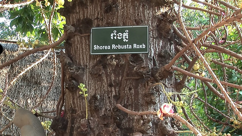 Cambodia - Phnom Penh - Shorea Robusta Roxb - 3