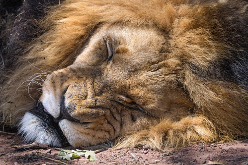 Lion sleeping with a grimace