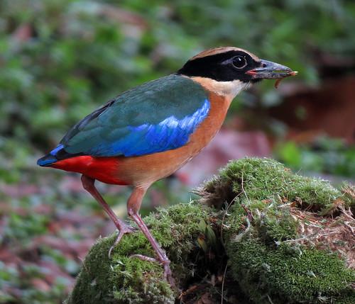 Blue-winged Pitta