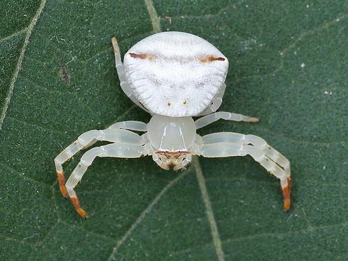 Crab Spider (Thomisus spectabilis)