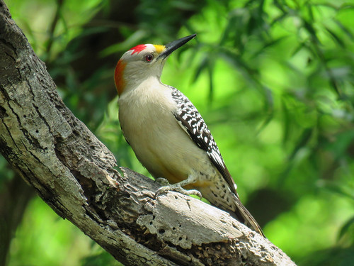 Day 6, Golden-fronted Woodpecker male