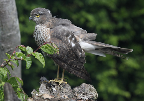 SPARROWHAWK   ..One..really poorly...