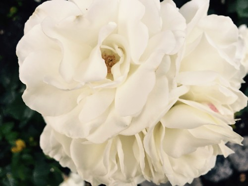 White roses in Queen's Park in New Westminster, 2016