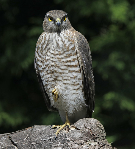 SPARROWHAWK    ..Three...Nearly back to normal...