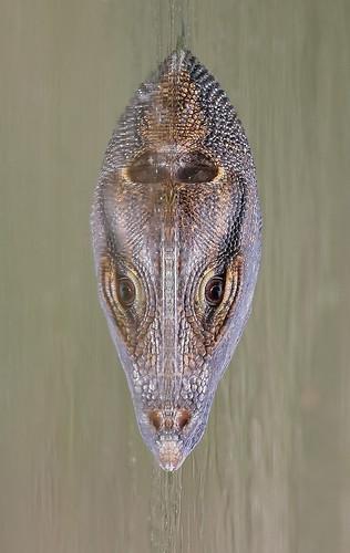 Water monitor or common water monitor (Varanus salvator) 圆鼻巨蜥