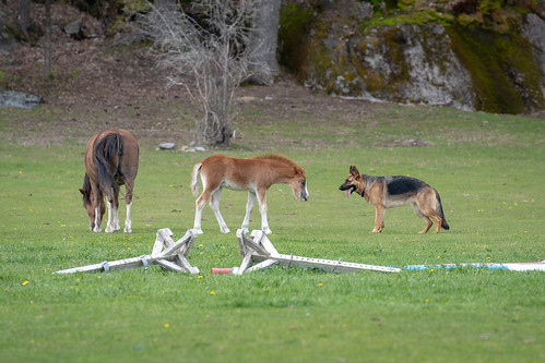Schäferhund wants to play with foal