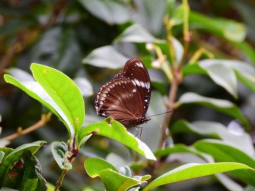 DSCN3079 - #幻蛺蝶 (#琉球紫蛺蝶) Hypolimnas bolina kezia (Butler, 1877)