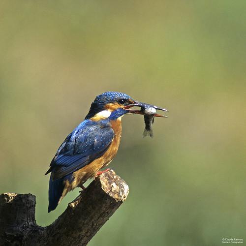 Martin-pêcheur d'Europe - Alcedo atthis - Kingfisher - 00633
