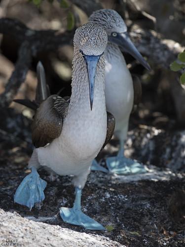 Blue-footed boobies (Sula nebouxii)