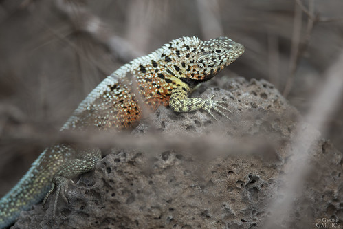 Albemarle lava lizard (Microlophus albemarlensis)