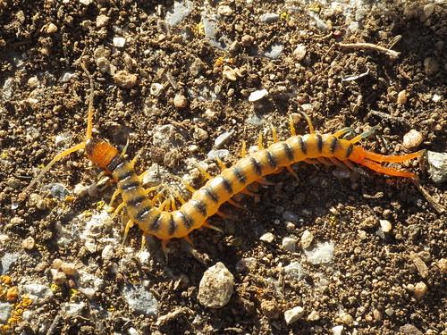 Scolopendra cingulata (Mediterranean banded centipede) (Scolopendrdae - Scolopendromorph Centipedes)