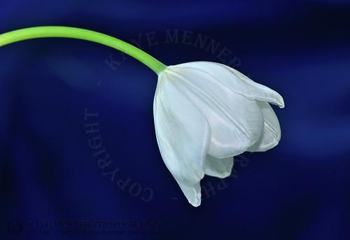 White Tulip on Blue by Kaye Menner