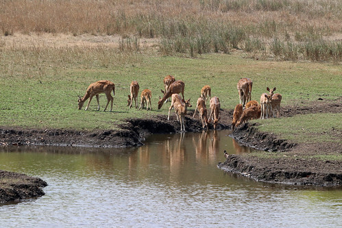 17. Chital [Axis Axis, Spotted Deers], Khitauli Zone, Bandavgarh, Madhya Pradesh, India (www.junglemantrasafaris.com)