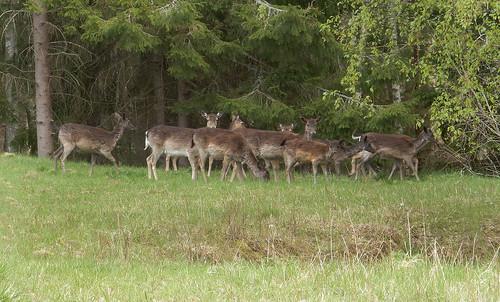 10 Hjortar på samma gärde, Vingåker, 2019-05-18