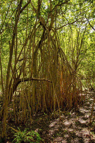 Massive prop roots found in mangrove forest, Sandos Caracol Eco Resort, Mexico