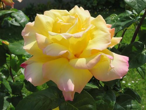 Rose Madame Meilland. Peace Rose. Vous pouvez lire sa fantastique histoire. You can read its fantastic history.