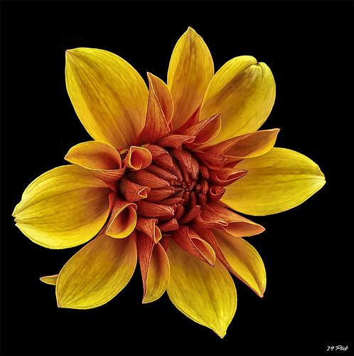 Yellow & Orange Dahlia