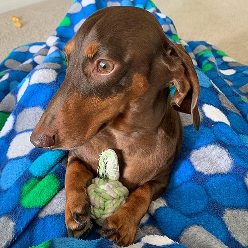 Dis mine. #chocolateandtan #dachshund #chocolateandtandachshund #dachshundsofinstagram #instadachshund #ilovemydachshund #longdogcrew #dismine #ilovemydog #instadog