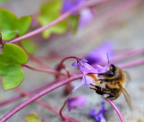 honey bee on ivy leafed toadflax