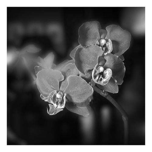 Dark Magenta Orchid Cluster