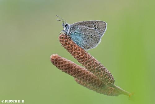 Farfallina Azzurra