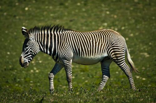 Una zebra, de pas // Walking zebra