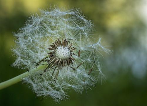 Dandelion......