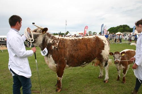 Rutland Show 2019 1st Cow Blackbrook Zabrina 1