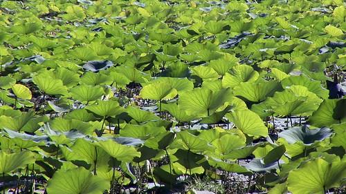 Cambodia - Lotus