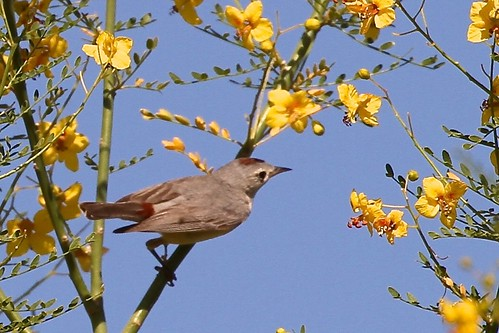 Lucy's Warbler~(Oreothlypis luciae)