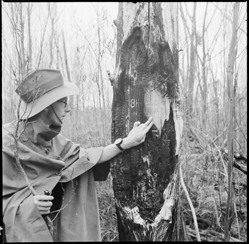 Ted Hall examining Harrison's Tree on Port Davey Track, lower end of Huon Planins 1948/49 Federation Peak Trip (1948)
